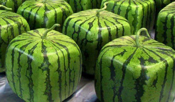 Square watermelons are watermelons grown into the shape of a cube